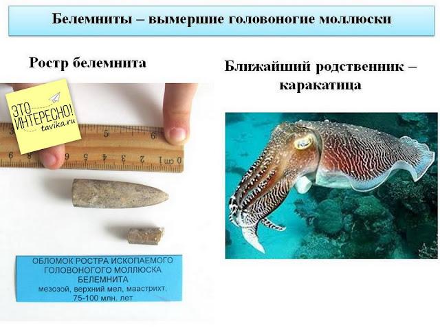 Ископаемый белемнит и его современный аналог