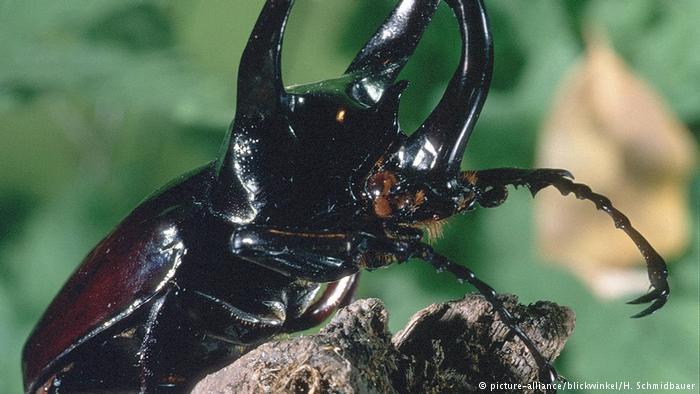 Kumbang Atlas