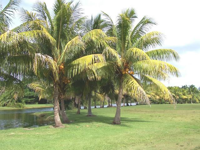 Cocos nucifera Malayan dwarf
