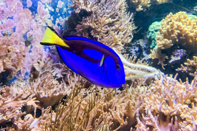 A Blue Tang swimming in front of corals