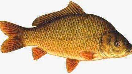 Mimpi menangkap ikan mas di sungai dalam togel