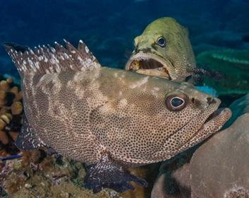 Ikan Kerapu Macan (Epinephelus fuscoguttatus)