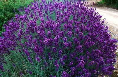 Hasil gambar untuk tanaman hias bunga lavender
