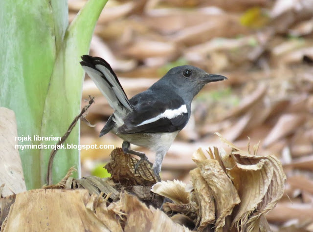 Magpie Robin (Female)