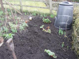 rhubarb planting, gardening