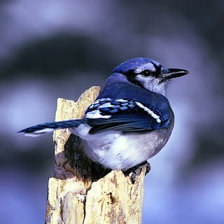 blue jay,different types of birds with pictures and names