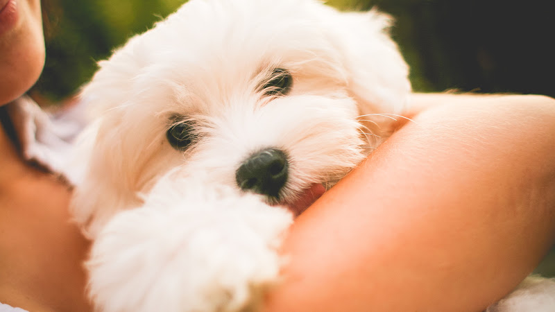 Lovely Maltese Puppy HD