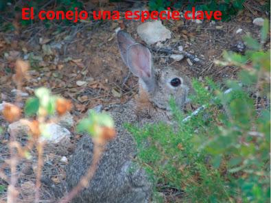 El conejo, una especie clave