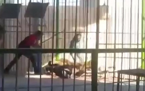 Watch Horrific Moment Lion Kills Trainer During Live Show in Egypt (Video+Photos)