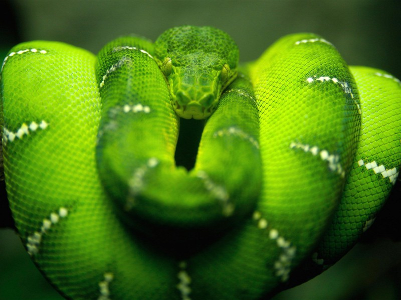 Snakes snakes wallpapers hd - Green snake hd wallpaper ...