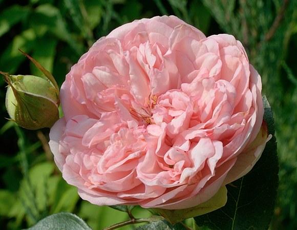 Antoine de Caunes сорт розы фото Гийо