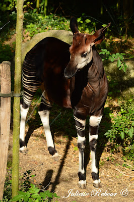 Okapi au Bioparc Doué-la-Fontaine