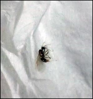トビイロケアリ(黒アリ)の羽アリ