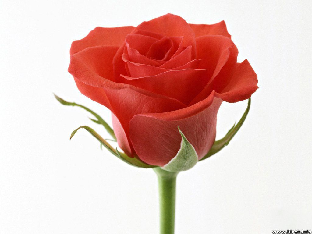 Animals Zoo Park: 9 Single Red Rose Wallpapers for Desktop Backgrounds