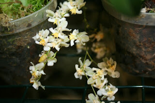 oncidium flor