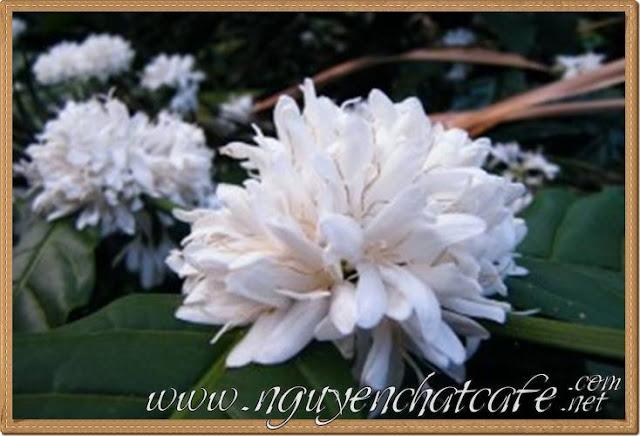 Mùa hoa cà phê nở trắng xóa khắp núi đồi