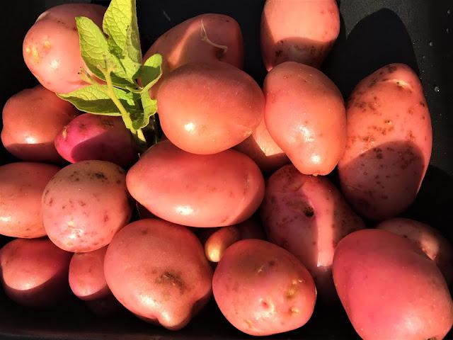 Kartoffeln der Sorte Désirée, frisch gewaschen