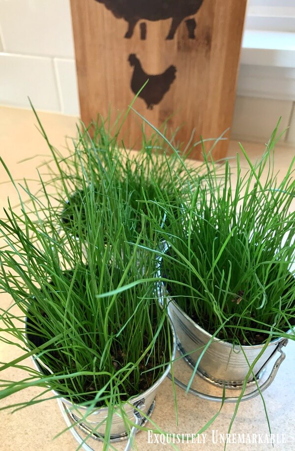 Grass growing in three small metal tins