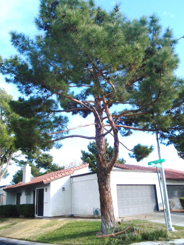 Pine Tree Thinned To Reduce Sail On The Canopy Resulting Several Years Later In Caliper Loss Branch And Subsequent Limb Breakage Bottom Center