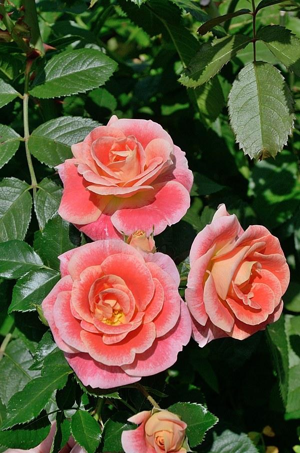 Airbrush сорт розы Кордес фото