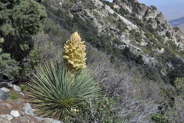 giant yucca just starting to flower