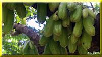 gambar buah belimbing wuluh, belimbing besi, belimbing sayur