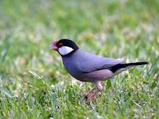 30 Fakta Unik dari Burung Gelatik Si Burung Pengicau