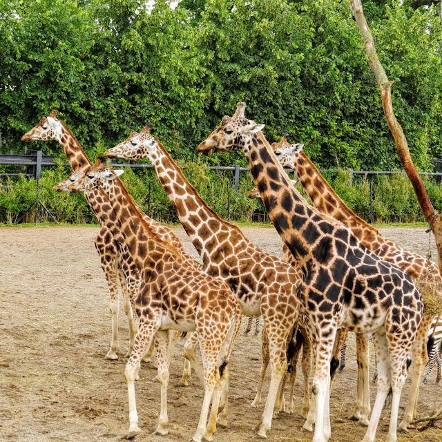 Dublin in a day: giraffes at Dublin Zoo in Phoenix Park