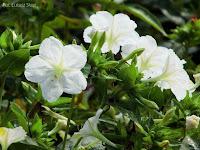 białe kwiaty dziwaczka