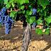 Generalidades de la uva Cabernet Sauvignon