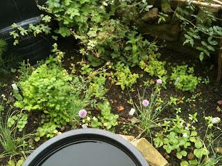 herb garden, gardening, life on pig row