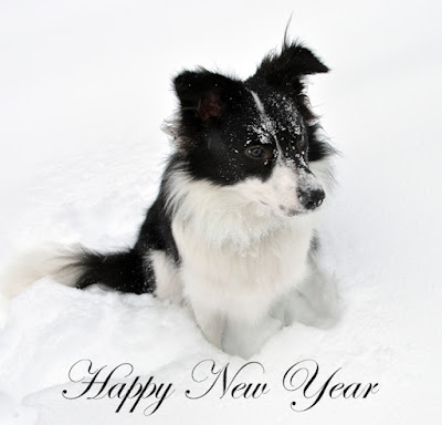 snow border collie