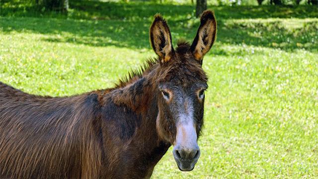 México: Un ladrón roba un burro y solicita un insólito rescate
