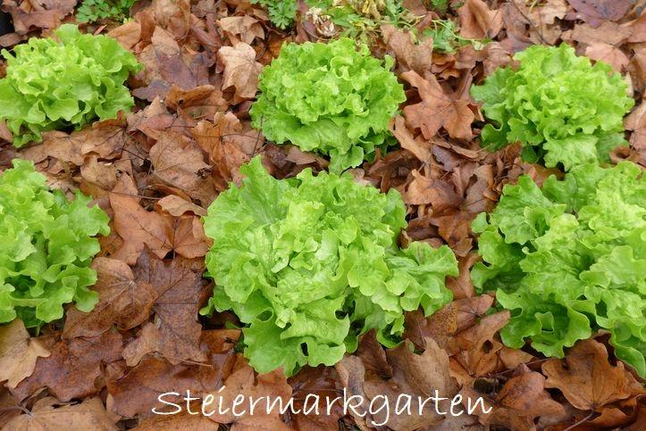 Krauthäupel-Steiermarkgarten