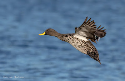 Yellow-Billed Duck - Woodbridge Island Cape Town