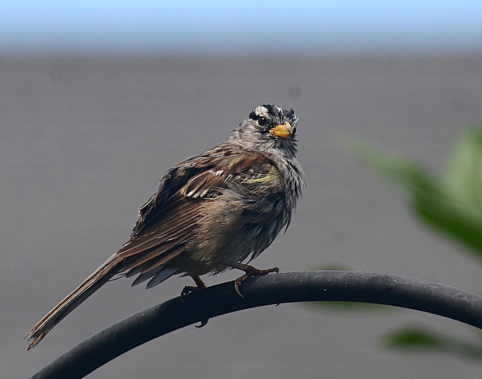 oregon backyard birds etc june 2017