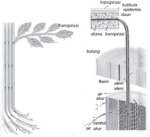 Skema sirkulasi air dalam tumbuhan