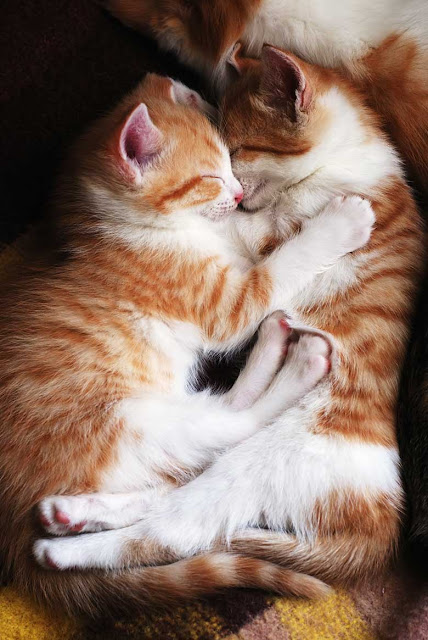 Two cats cuddling together. Results of a survey into how people care for their cats, including how often they go to the vet, play with their owner, and litter tray issues.
