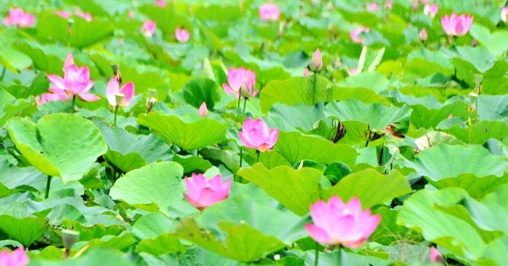 媲美白河的蓮花秘境|新化山腳里蓮田陸續綻放