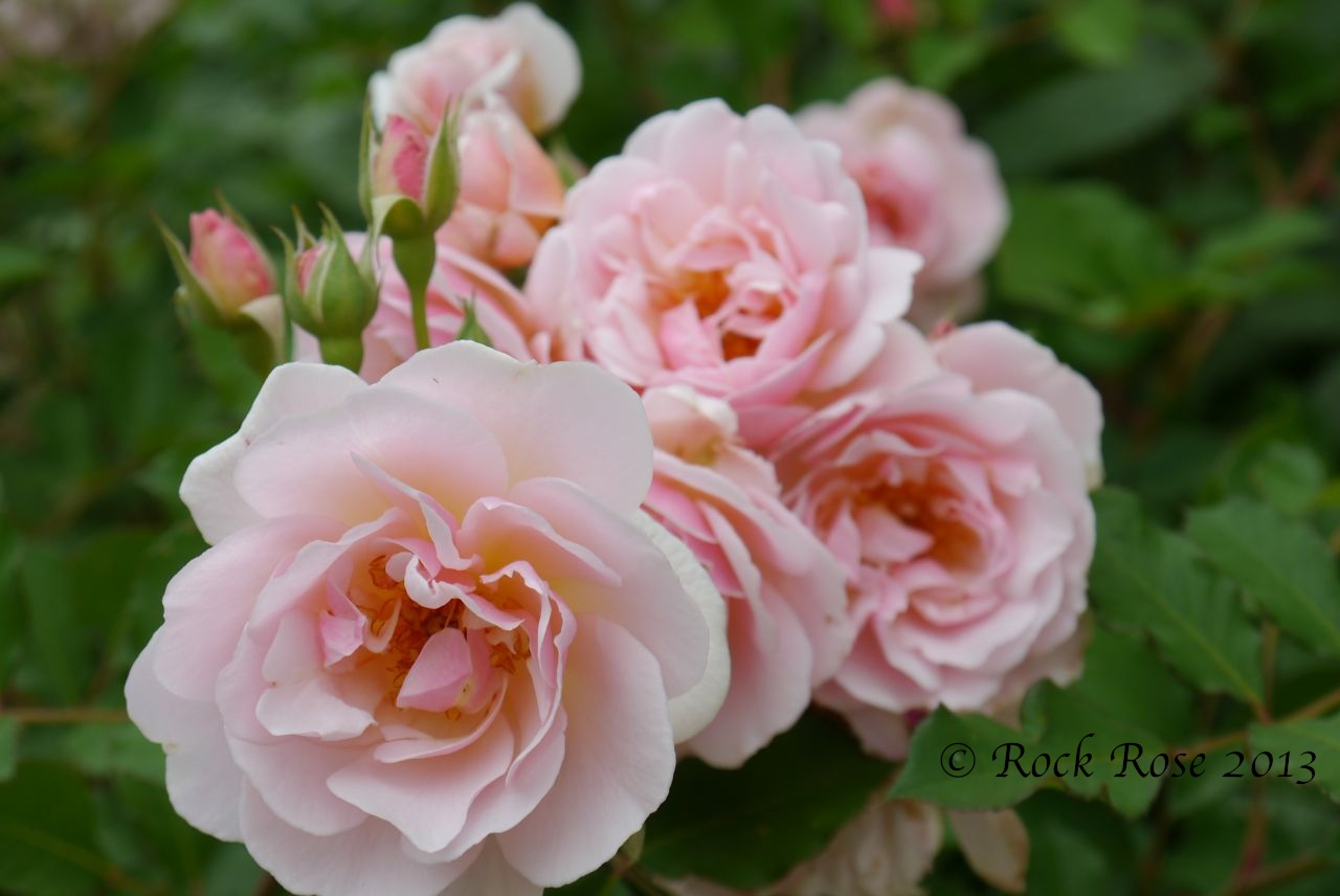 Rock Rose Oh Those Pinks
