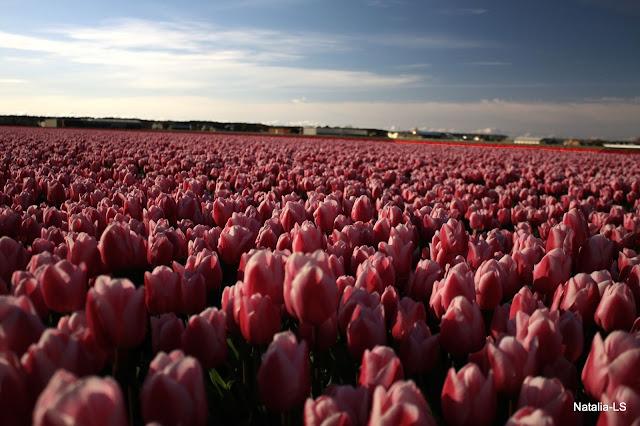 Голландия, Кекенхоф, нарциссы, тюльпаны, цветочные поля, Нидерланды, Болленстреек