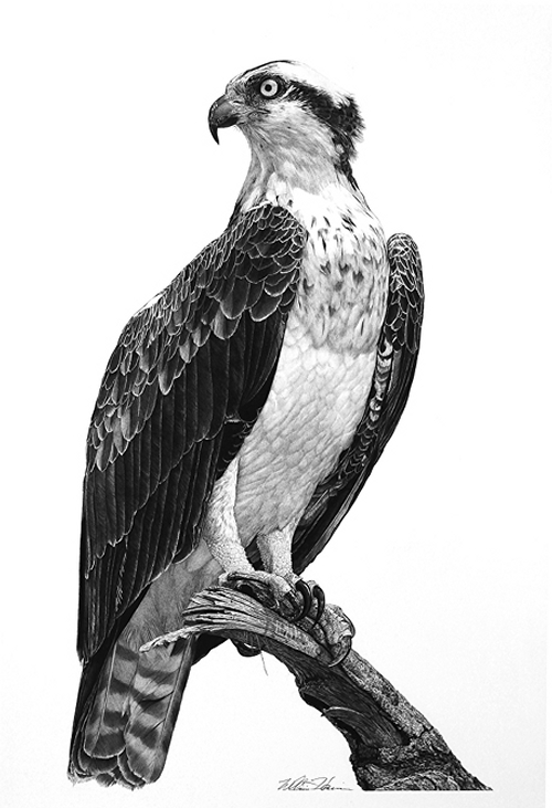 07-Osprey-William-Bill-Harrison-Majestic-Wildlife-Carbon-Pencil-Drawings-www-designstack-co