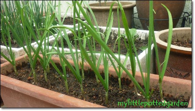 my little potted garden growing garlic greens. Black Bedroom Furniture Sets. Home Design Ideas