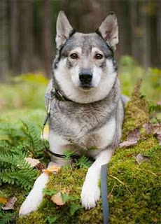 Everything about your Swedish Elkhound