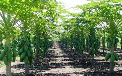 Peluang Usaha Budidaya Pepaya Usaha Pertanian Menjanjikan