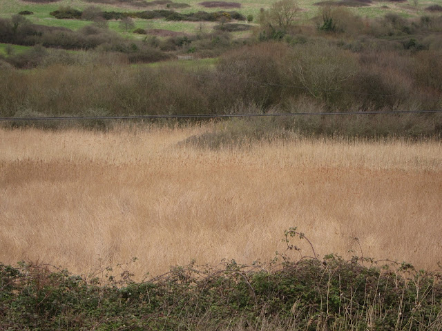 Large expanse of reeds beyond brambles.