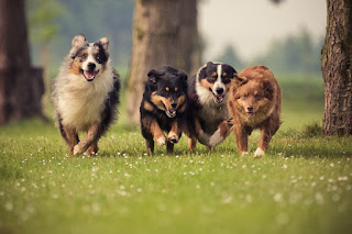 Four happy dogs running towards the camera