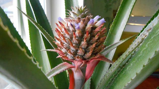 отцветающий ананас