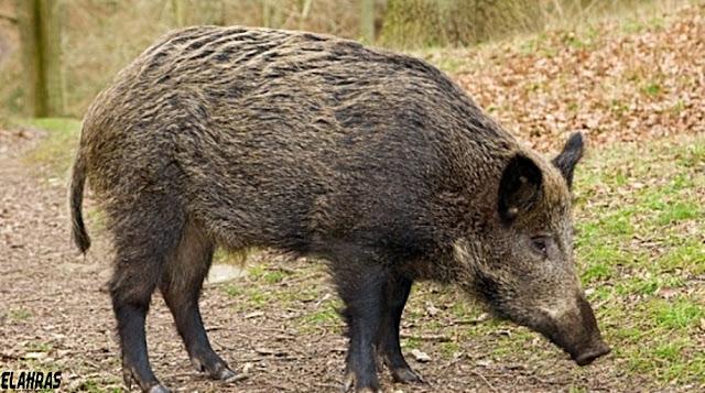 ماذا يحدث لو أكلنا لــحم الخنزير ؟