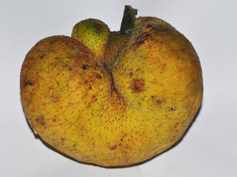 Jaca de Macaco (Artocarpus lacucha)